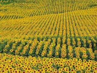 Cumparam. Floarea Soarelui. Porumb. Soie. Griu.