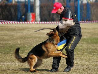 Предлагается для вязок импортированный кобель,чемпион молдовы.