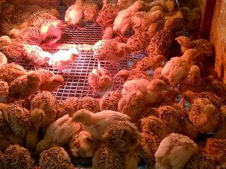 Oua de prepelita pentru incubatie.