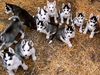 Husky, cadoul perfect!