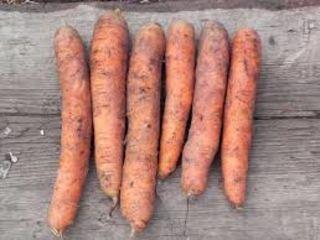 Продам морковь свежую сорта Самсон.