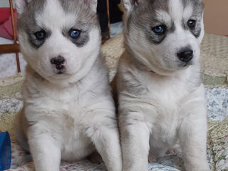 Продам чистокровных щенков хаски от племенных родителей.