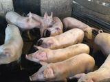 vind porci pina la 60 70kg