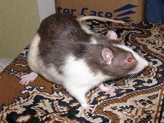 Приму в дар или куплю не дорого крысенка