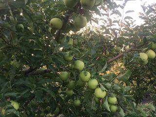Vînd livada de măr de 8 ani (3ha măr, 0,5 ha prună)  12500 euro