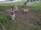 продаются щенки Кангала