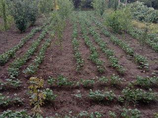 teren de 7 arii cu pomi si vie in vinzare