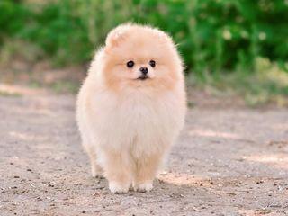 Pomeranian-FCI(Pedegree)