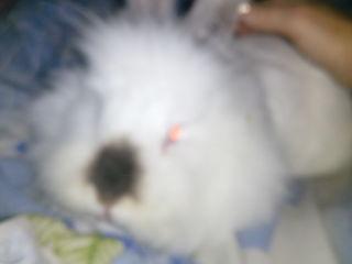 Dекоративный кролик