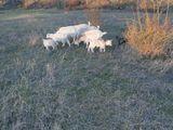 Lapte de capra!