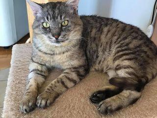 Котик-метис египетской мау серебристого окраса в дар !