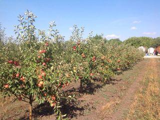 Яблоневый сад летних сортов 37,5 гектар