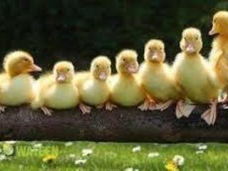Avem bobocei de gîscă!!!