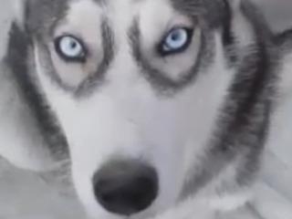 Ищу собаку Хаски