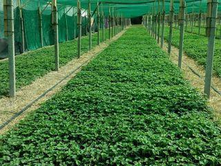 Vînd răsad de căpșuni, în substrat (torf) soi Marmolada