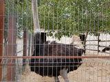 черный африканский страус