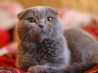 Шотландский вислоухий кот,с родословной!Motan scottish fold,cu pedigree!