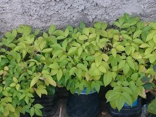 Саженцы декоративных и коллекционных растений