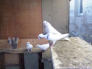 продам помеси голубей