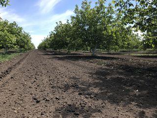Продам ореховыи сад