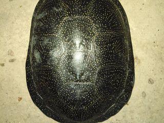 Продам редкую черепаху