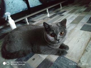 Продам Британского кота 8 месяцев