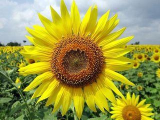 Vînd floarea-soarelui