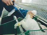 insamintare artificiala a iepurilor  искусственное осеменение кроликов