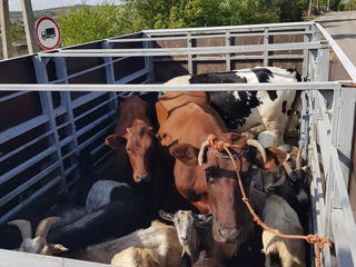 Cumpăr buhai,vaci,cai ofer pret bun! transport gratis куплю коров быков лошадей транспорт беспатно !
