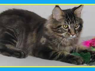Роскошный сибирский молодой котик. Модельная внешность.