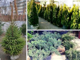 Plante vii, decorative. Arbori foioși. Amenajare gradina
