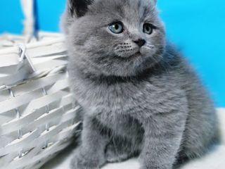 Шотлансдкий котик Scottish Straight