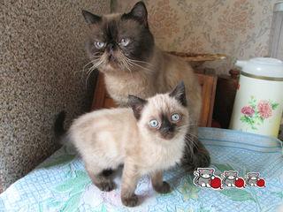 котята экзоты колор-пойнт - голубоглазые плюшевые комочки, есть видео