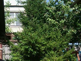 Продается живая елочка на корню