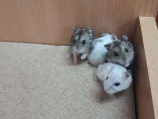 Vând Hamsteri