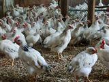 цыплята серебристые