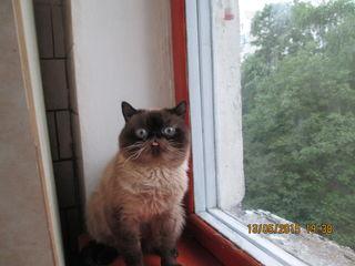шикарный кот экзот колор-пойнт, видео