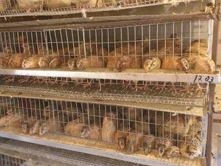 Carne si oua de prepelița in Falesti