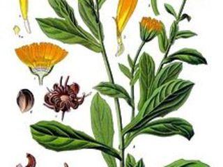 Календула-лечебная трава