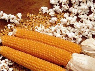 vindem porumb pentru popcorn..