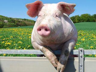 Carne de porc proaspata