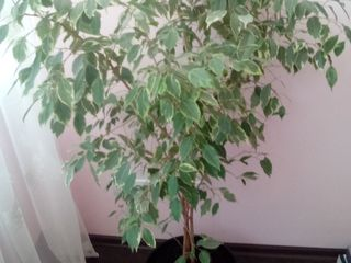 Se vinde floare de camera, Ficus
