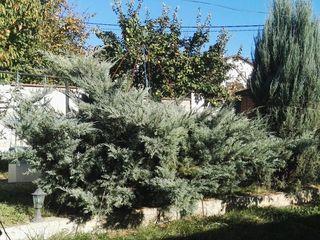 Можжевельник серебристо-синий Пфитцериана Глаука Pfitzeriana Glauca