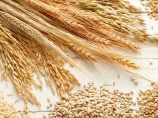 Закупаем у физических и юридических лиц пшеницу,ячмень опт от 20-25 тонн