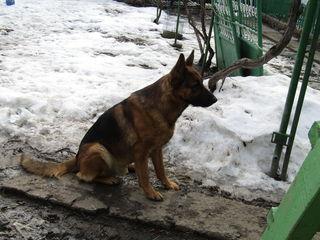 Pui de ciobanesc german(aduc la necisitate la Chisinau)
