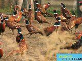 Охотничьи Фазаны  Fazani Vinatoresti