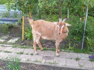 Продаётся коза
