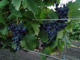 Urgent !!! Plantație de viață de vie Moldova