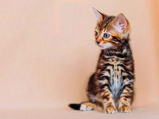 Питомник  предлагает  бенгальских котят от Grand Euro CH WCF