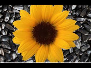 Cumpărăm floarea soarelui 8.2lei!